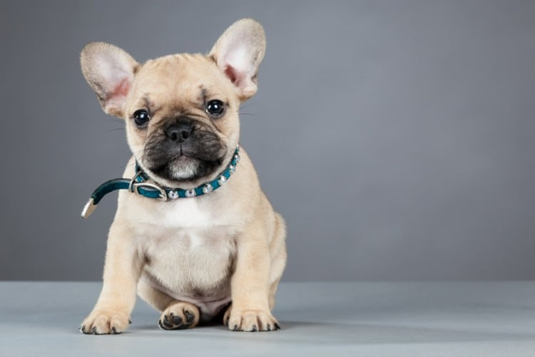 French Bulldog Puppy Wearing Rhinestone Collar