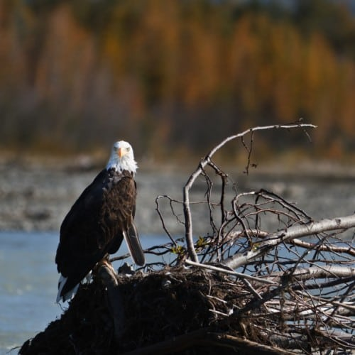 Molting Bald Eagle