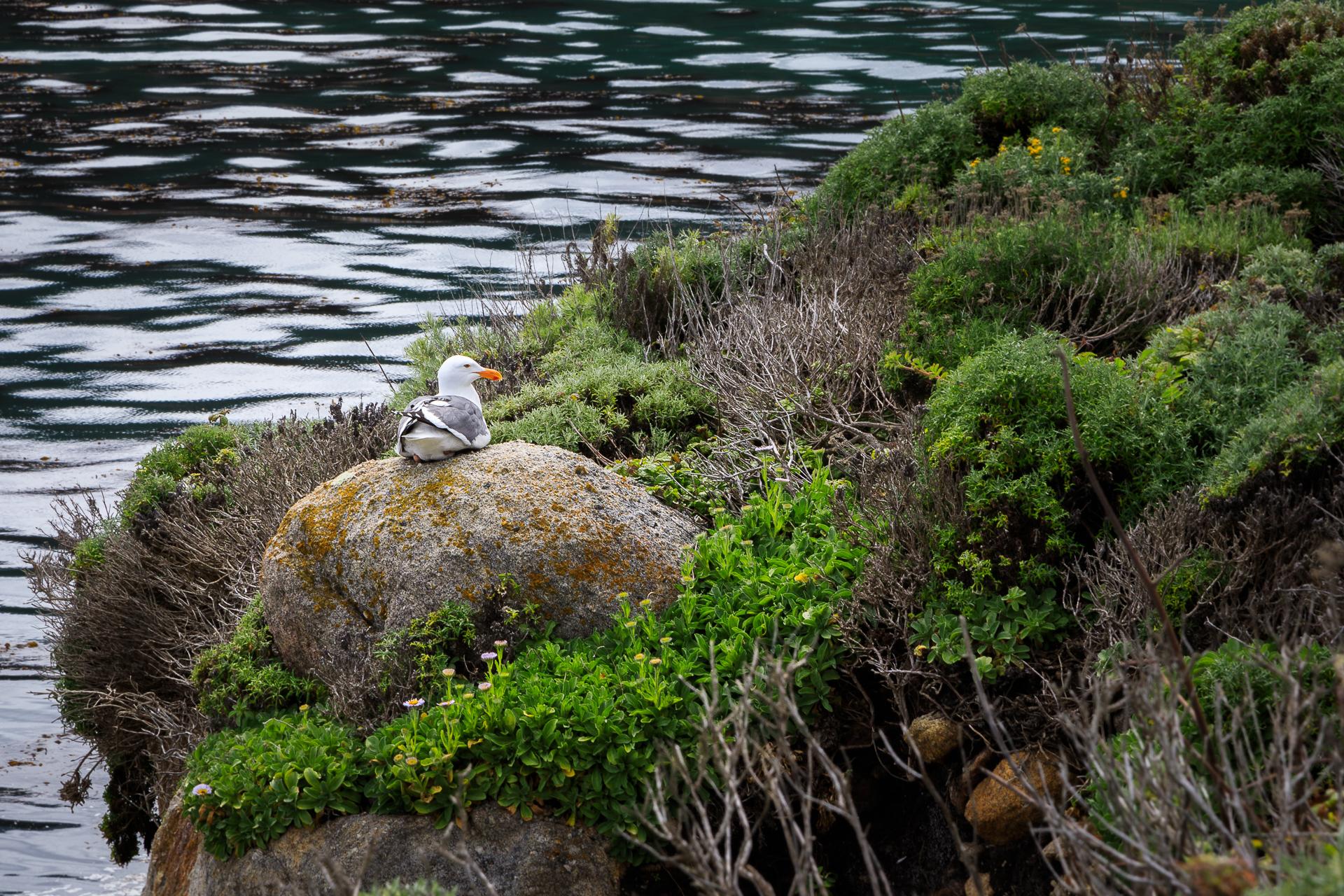 Seagull Resting on Rocks