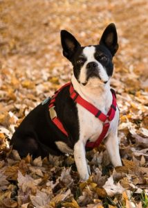 A portrait of Kenzie, the Boston Terrier, in the autumn leaves.