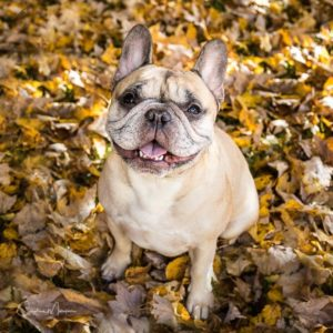 Portrait of French Bulldog sitting in autumn leaves