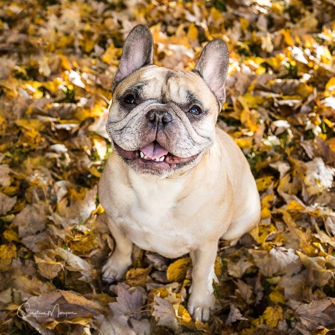 Portrait of French Bulldog sitting in autumn leaves. Click on the photo to see a larger version.