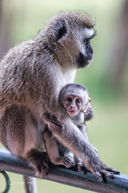 Vervet Mama and Baby at Lake Naivasha, Kenya