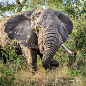 An old elephant with a hole in his ear and a broken tusk, grazes in Sabi Sabi, South Africa.