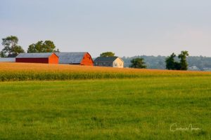 Red barns in a corn field in the late afternoon.
