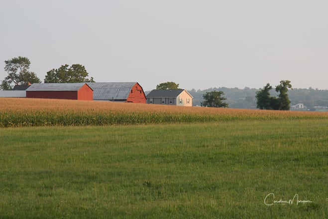 Red Barns and Corn