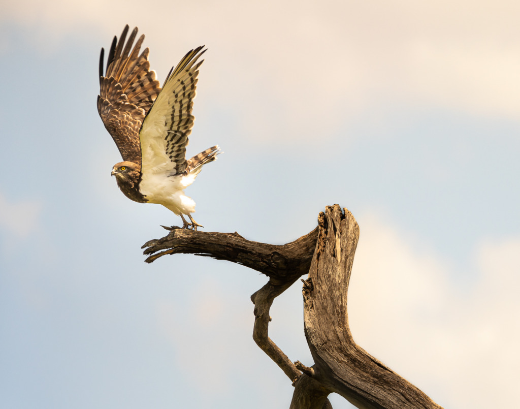 A travel photographer visiting the Masai Mara in Kenya  might shoot a photo like this one of an African Black-chested Snake Eagle about to take wing off an old dead branch