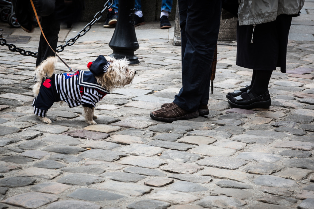 A white dog, dressed up in a sailor suit and hat, stops to greet people in Honfleur.