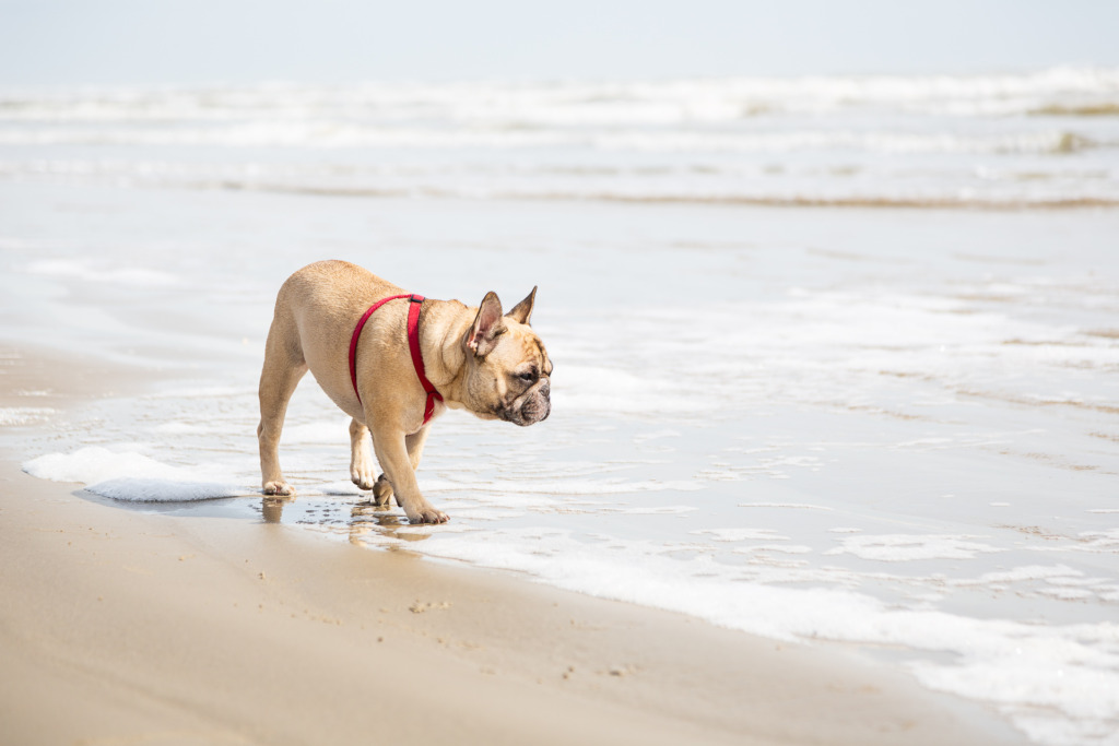 Photo of French Bulldog on the beach
