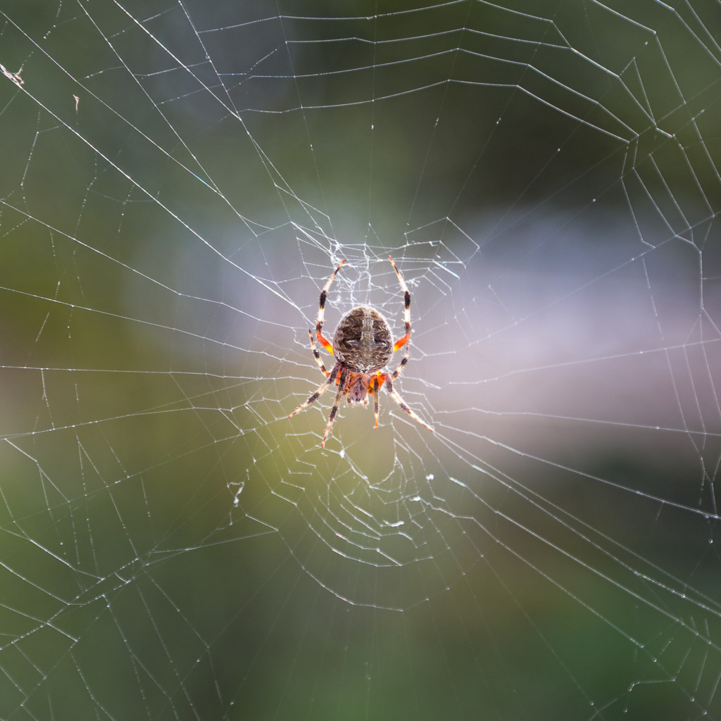 Close-up of the Back of a Cross Spider on Her Web