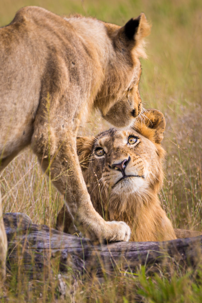 on safari in South Africa you will see lions