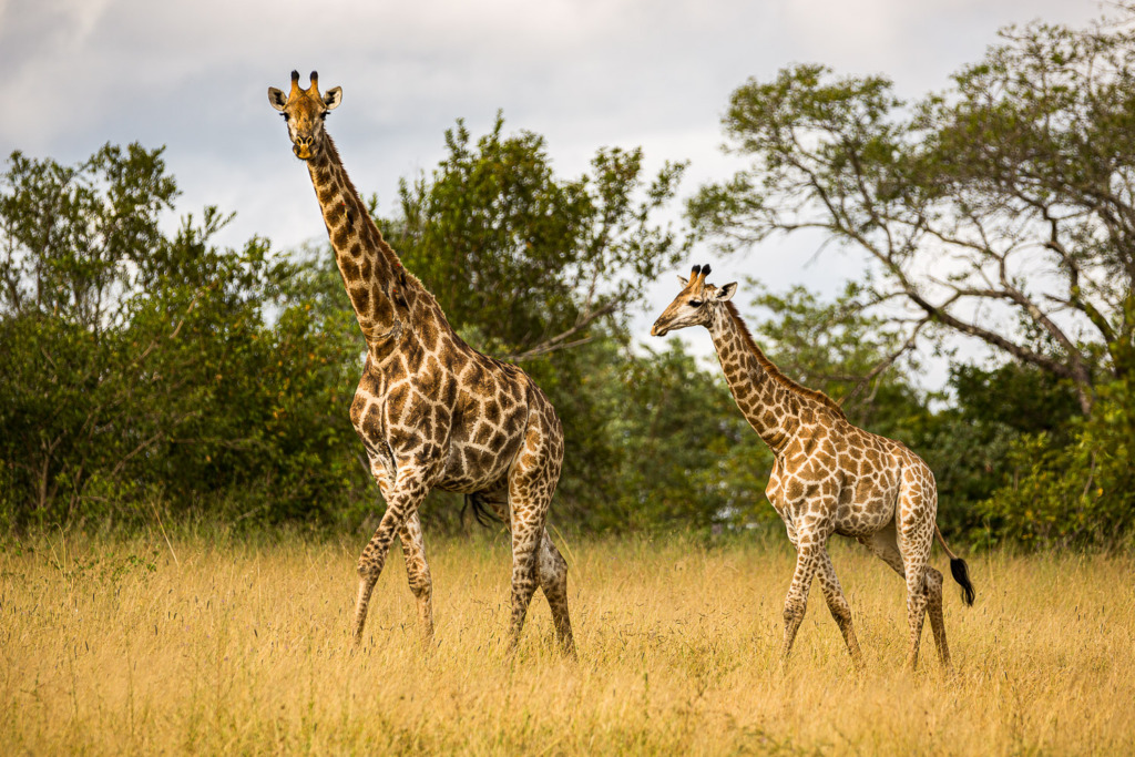 on safari in South Africa you will see giraffes