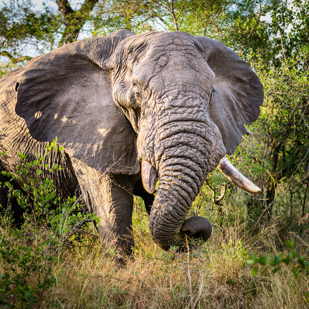 on safari in south africa you will see elephants