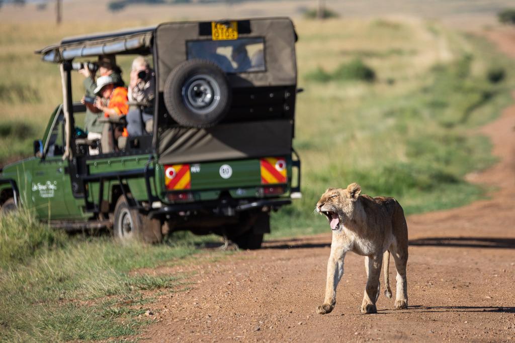 Lion yawning with safari truck behind it.