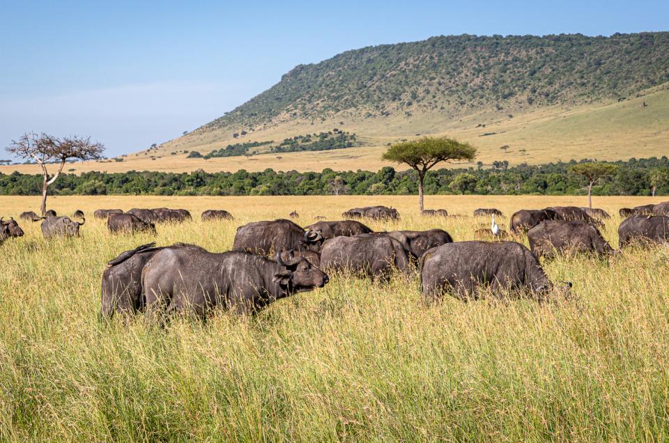 Herd of Cape Buffalo