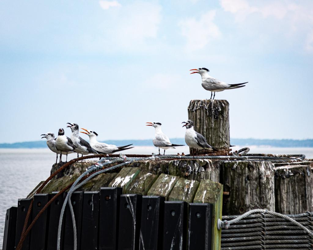 royal terns seen where you travel again